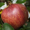 Picture of Apple Red Delicious on M27
