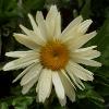 Picture of Leucanthemum Banana Cream