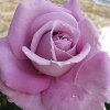 Picture of Heaven Scent-Rose