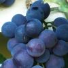 Picture of Grape Albany Surprise