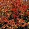 Picture of Liquidambar Worplesdon