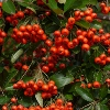 Picture of Pyracantha Brilliant