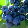 Picture of Blueberry Petite Blue