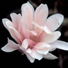 Picture of Magnolia Stellata Jane Platt