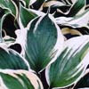 Picture of Hosta Minuteman