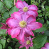 Picture of Clematis Pink Champagne
