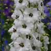 Picture of Delphinium Black Eyed Angels