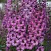 Picture of Delphinium Dusky Maiden