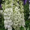 Picture of Delphinium Green Twist