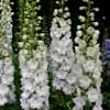 Picture of Delphinium Innocence
