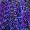 Picture of Delphinium Pagan Purples
