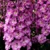 Picture of Delphinium Sweethearts
