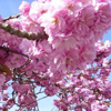 Picture of Prunus Kanzan L/W
