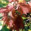 Picture of Acer Acontifolium