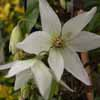 Picture of Clematis Purity
