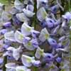 Picture of Wisteria Geisha