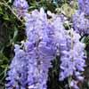Picture of Wisteria Blue Sapphire