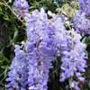 Click for Climbers_and_Vines/Wisteria