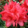 Picture of Rhododendron Damozel