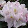 Picture of Rhododendron Gomer Waterer