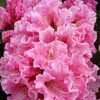 Picture of Rhododendron Norrie King