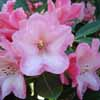 Picture of Rhododendron Pink Porcelain