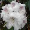 Picture of Rhododendron White Pearl