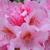 Picture of Rhododendron Bashful
