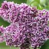 Click for Shrubs/Lilac