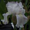 Picture of Iris Bearded Tamarau Beauty