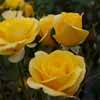 Picture of Best Wishes-Rose