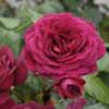 Picture of Ebb Tide-Rose