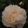 Picture of Lichfield Angel Std 90cm-Rose