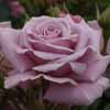 Picture of Moody Blues-Rose