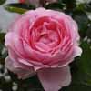 Picture of Mum in a Million Std 80cm-Rose