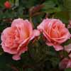 Picture of My Mum Std 90cm-Rose