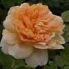 Picture of Tea Clipper-Rose