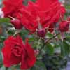Picture of Toytown Std 80cm-Rose