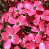 Picture of Cornus Cherokee Chief L/W