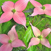 Picture of Cornus Beni Fuji L/W