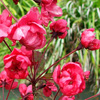 Picture of Malus Crabapple Barbara Ann H/W 1M