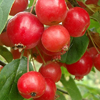 Picture of Malus Crabapple Gorgeous H/W 1M