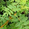 Picture of Fraxinus Aurea Pendula