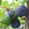 Picture of Plum Damson SJ