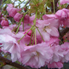 Picture of Prunus Pink Perfection 1.5m