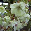 Picture of Prunus Ukon H/W 1.5m