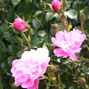 Picture of Pink Bells Std 80cm-Rose