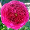 Picture of William Shakespeare-Rose