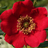 Picture of Rosa Moyesii Geranium-Rose