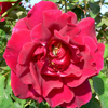 Picture of Etoile de Hollande-Rose